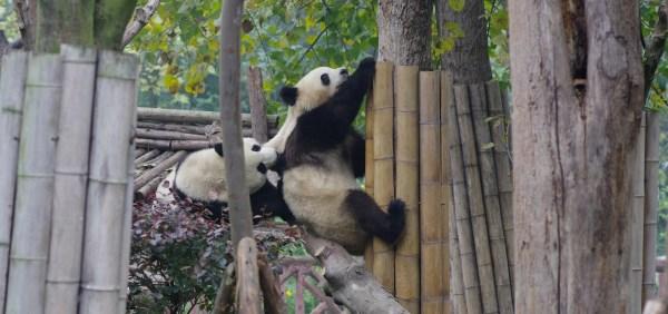 Kämpfende Pandas