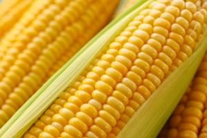 Syngenta Corn
