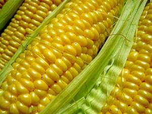 GMO corn seed lawsuit