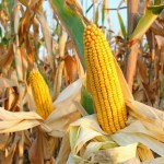 Syngenta GMO Corn Lawsuits Continue
