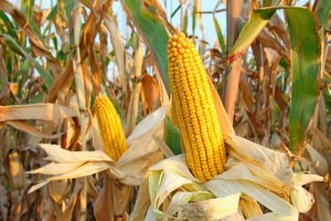 Syngenta GMO Corn