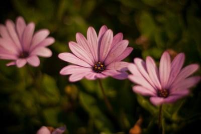 petals_300_3-2