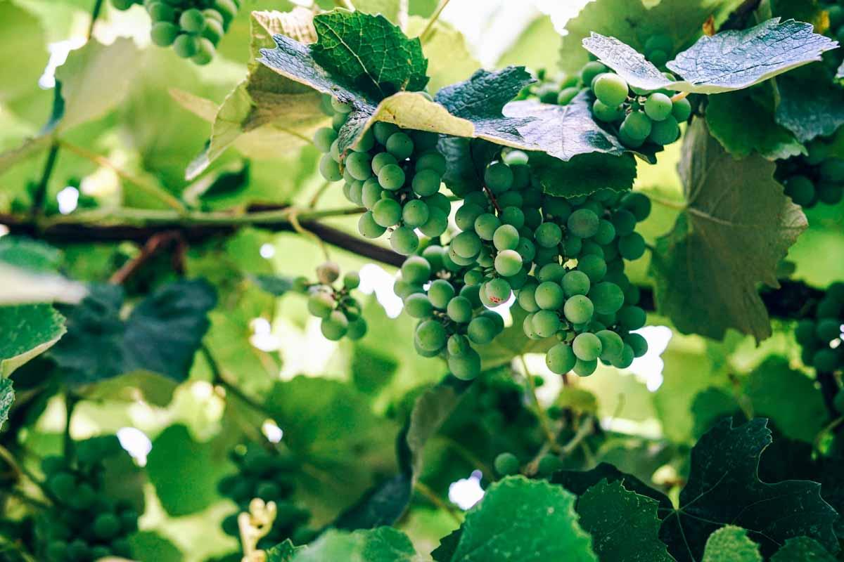 Lioco Wines