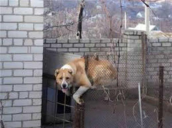 """""""Маленькая"""" собака ускользает через сетку-рабицу"""