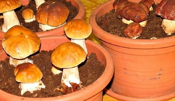 Funghi crescenti a casa