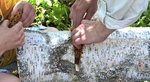 Segnalibro parti dei funghi nel gap made in un tronco di betulla