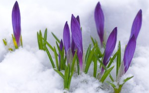 wallpaper-crocus-flower-buds-violet-primrose-snow-spring-flowers