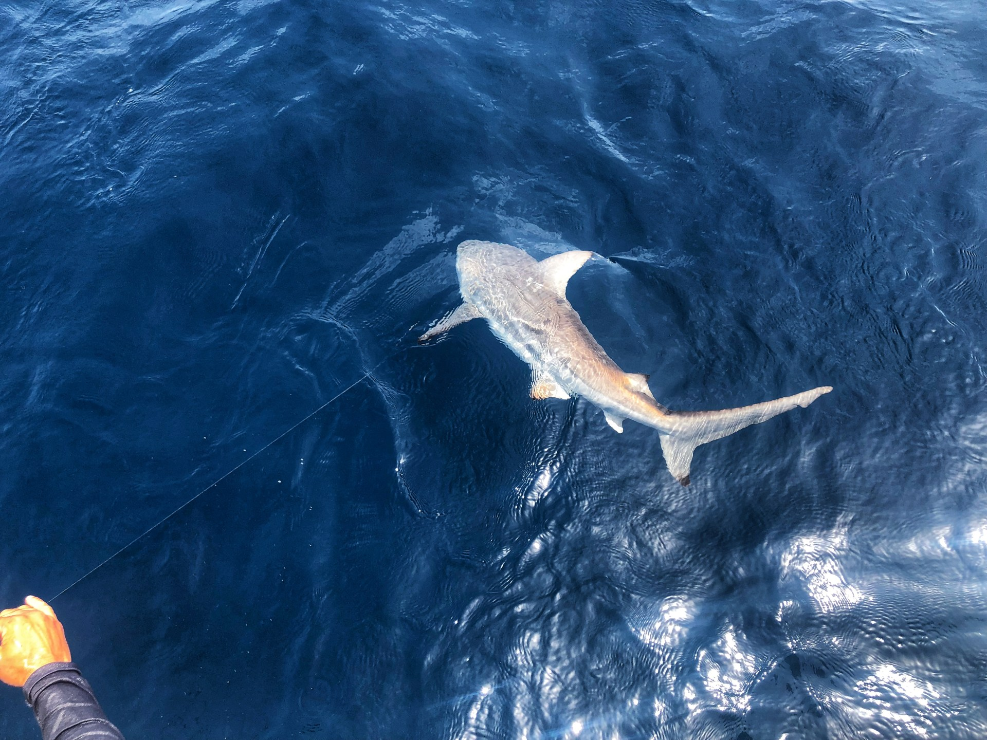 shark-fishing-gulf-of-mexico-2018