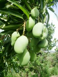 Cluster of green mangoes.