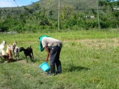 Dale Browne feeds his goats after Hurricane Maria.