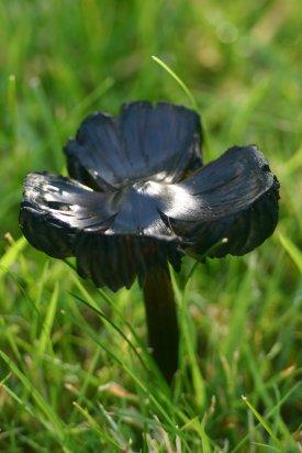 Black mushroom1