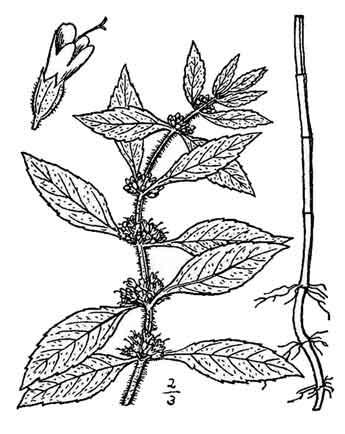 Yerba buena / Hierba buena / Mentha arvensis Linn./ MINT