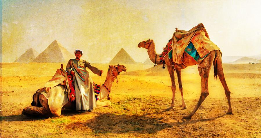 Camels across Egypt