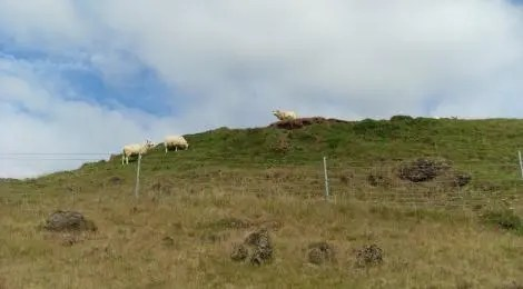 The Icelandic sheep reigns supreme at Keldur and elsewhere.