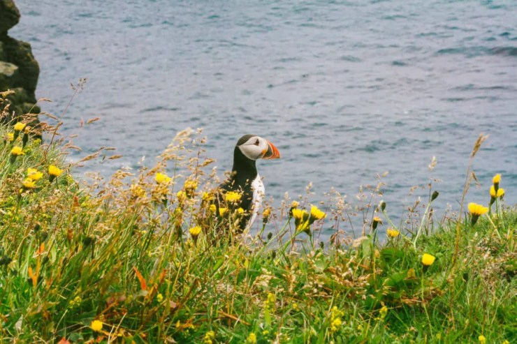 This Puffin is not on the menu. Fortunately.