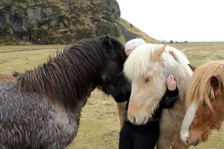 I look so helpless that even throngs of little Icelandic horses come to my defence.