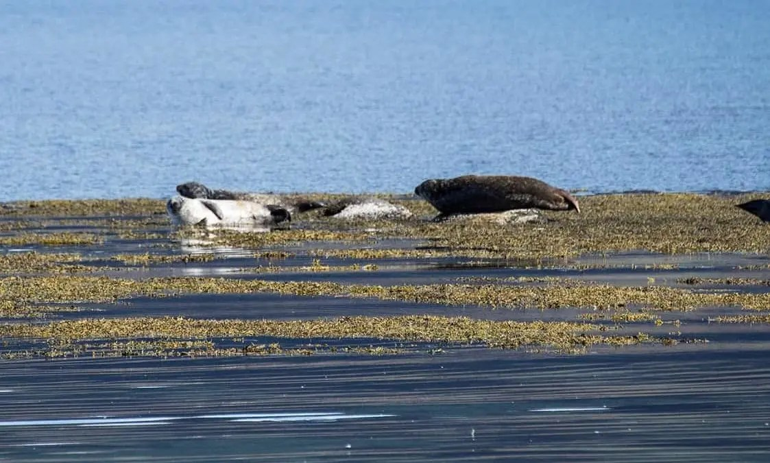 Chilling With the Seals of Iceland
