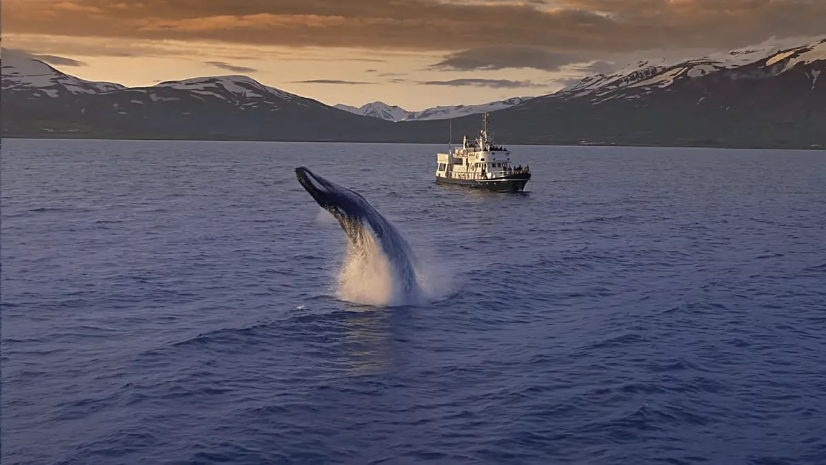 Watch this Mindblowing Iceland Whale Watching Video