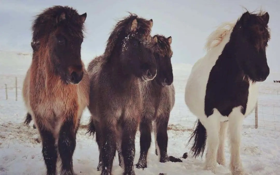Discover the Icelandic horse, the pure breed of the Vikings