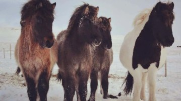 Three Icelandic horses during winters.