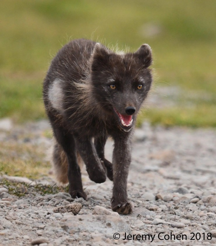 An arctic fox prowls around Látrabjarg Cliffs in Iceland.