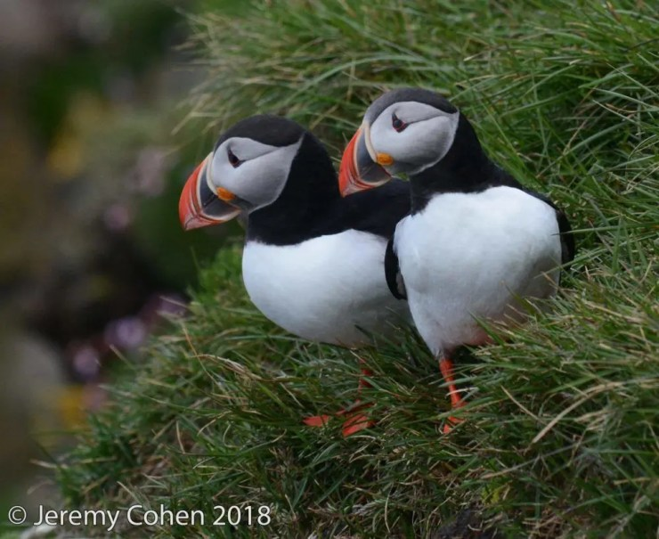 A cute puffin couple in the Látrabjarg Cliffs.