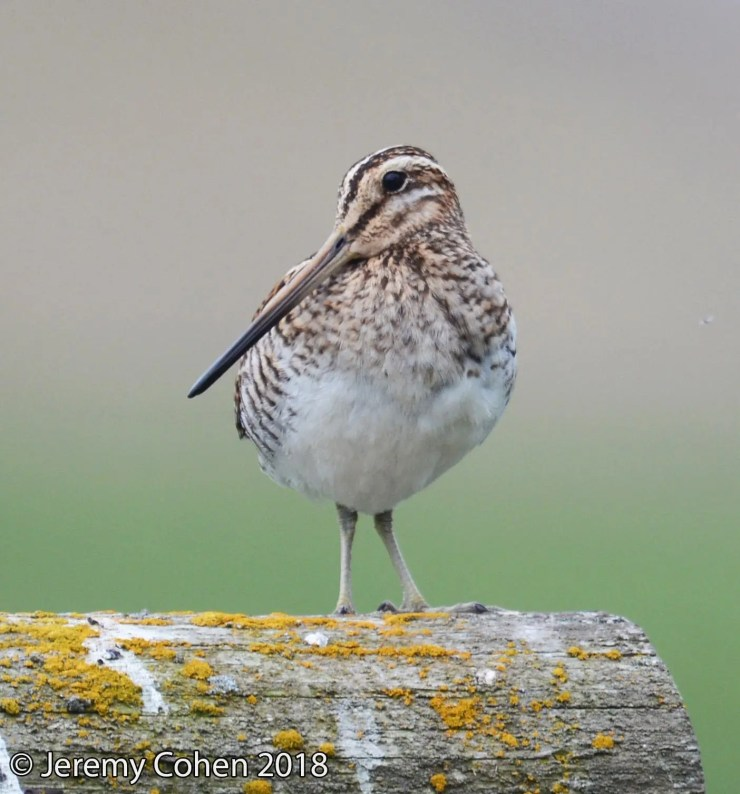 The Common Snipe is uncommonly beautiful.