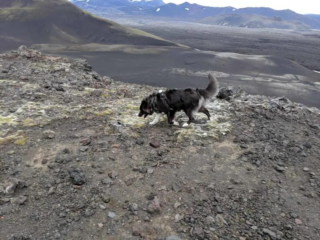 Camy the dog sniffs around Mt. Hekla.