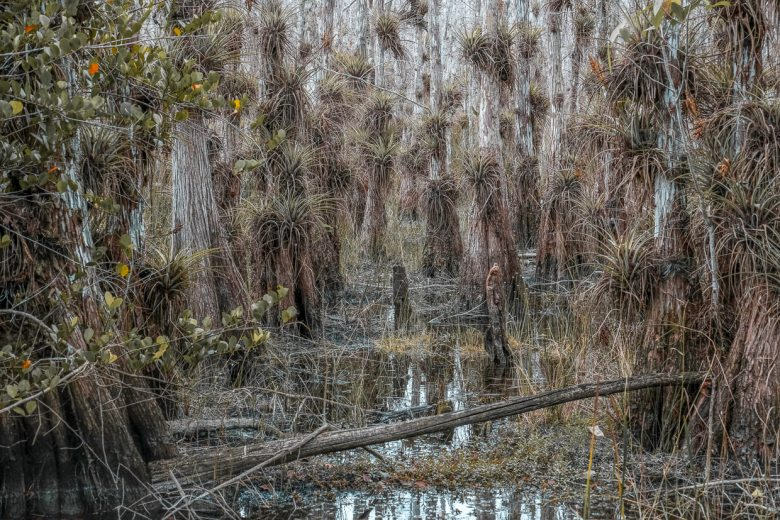 Plants in the marsh of Big Cypress.
