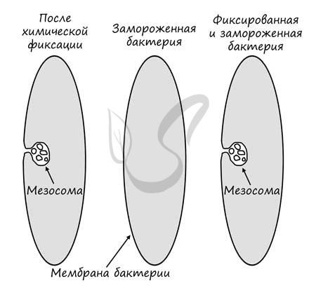 As bactérias são divididas pela divisão celular binária.