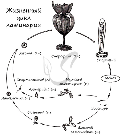 algele se îmbină în varicoză)