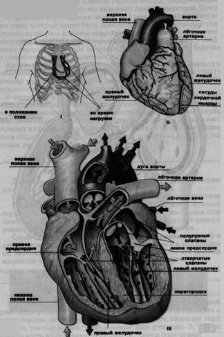 Физиология человека: периоды и фазы сердечного цикла. Сердечный цикл: суть, физиология, течение и фазы в норме, гемодинамика