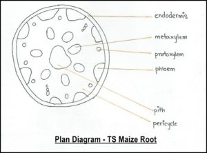 AS Level Biology (9700) P3 Guide – Diagrams – Stude Mate