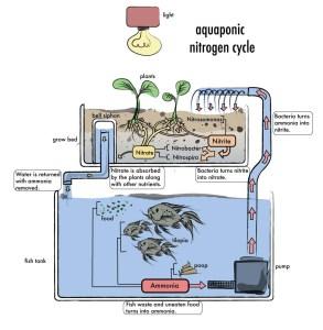AquaponicNitrogenCycle_web-copy-2