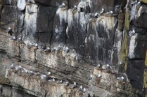 Home to Northumberland's largest population of kittiwakes