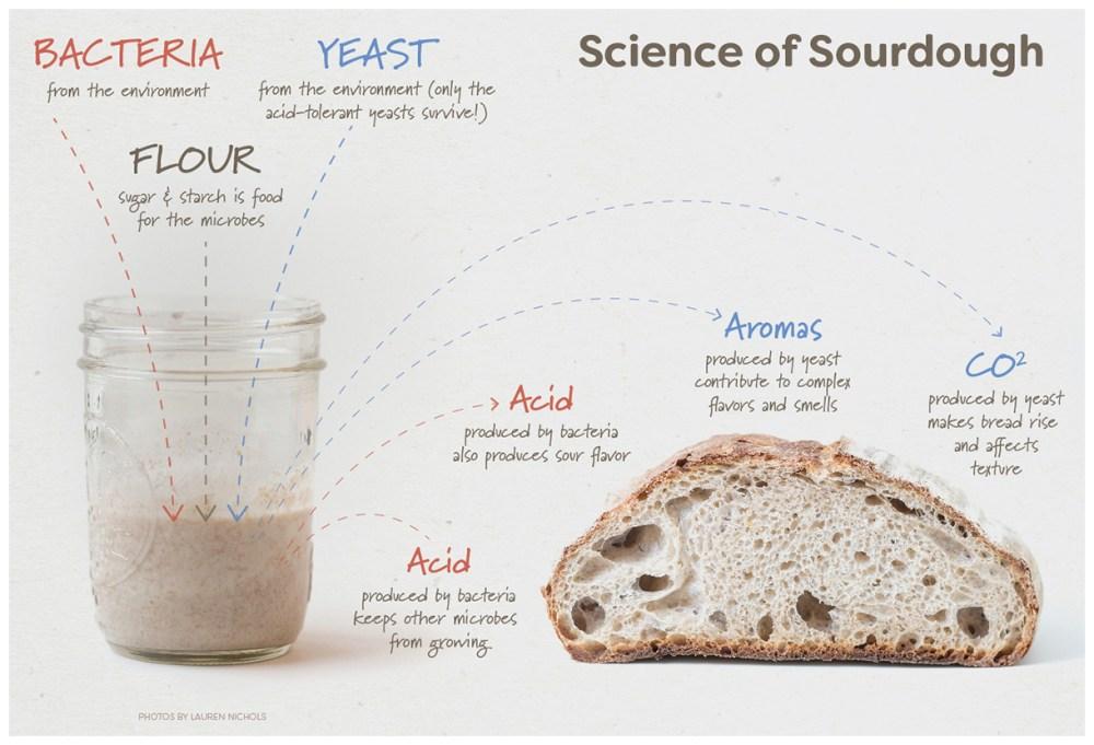 medium resolution of sourdough for science