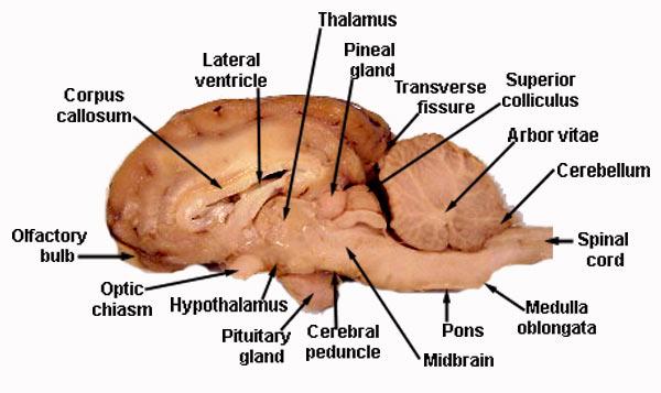 fetal pig spinal cord diagram 2003 dodge ram headlight wiring the brain | annette's vet student info