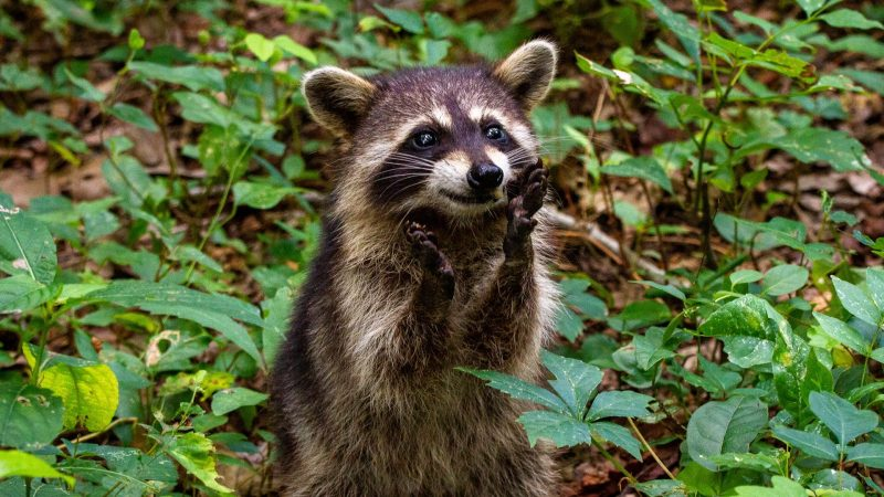 A raccoon on its hind legs on the forest floor, paws raised in mischief.