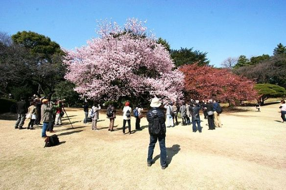 Two Kanzakura trees in contrasting stages of blooming
