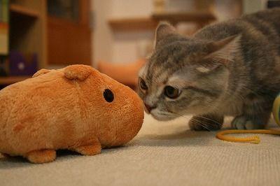 kapibara-san capibara nakama (1)
