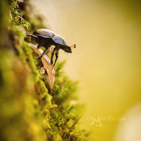 Beetle in the sun by Olivier Maurin
