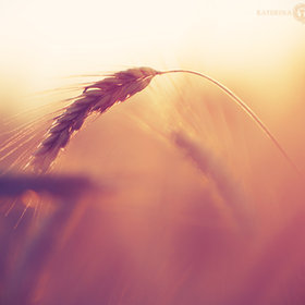 Ear of wheat, sunrise by Katerina Karmanovskaya
