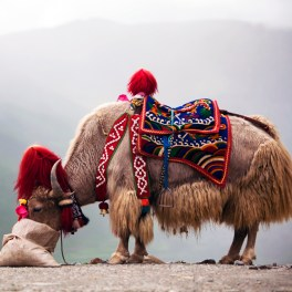 Yak Wool The Holy Grail?
