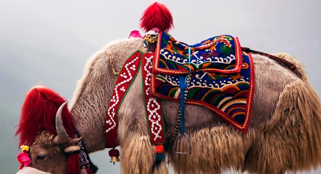 Yak Wool – The Holy Grail of Textiles?