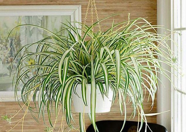 Resultado de imagem para Clorofito em vasos