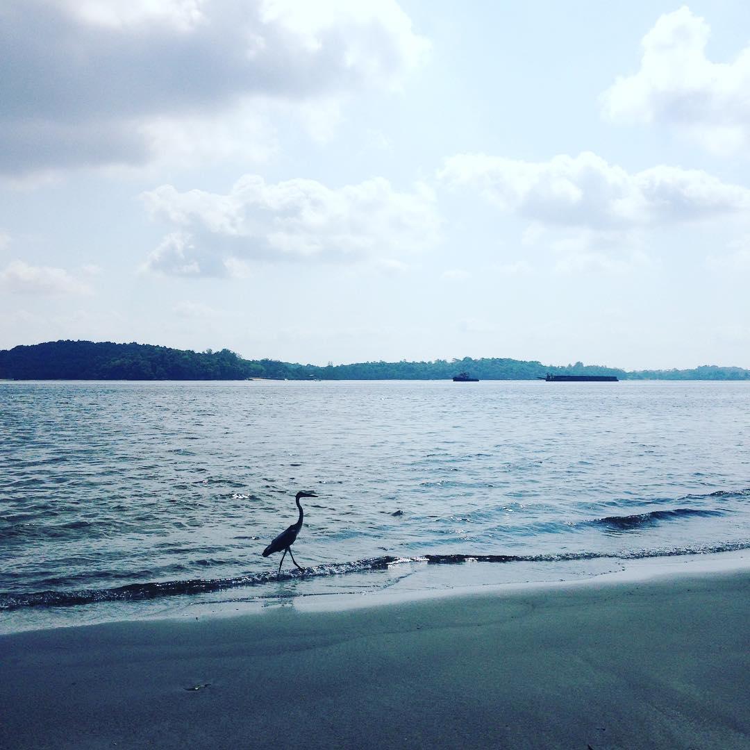 """""""听, 海哭的声音, 叹息着谁又被伤了心, 却还不清醒""""  #birds of #Singapore #beach #coneyisland #nature #amei"""