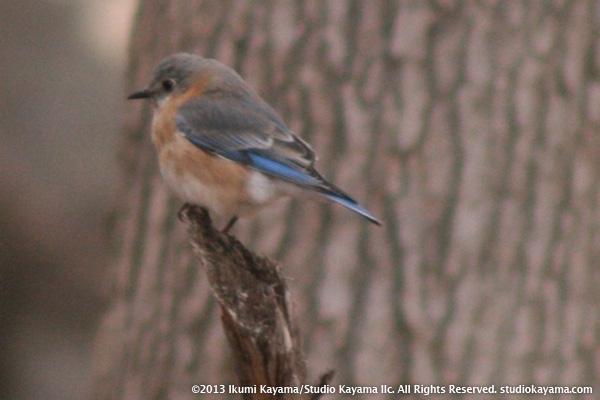 eastern bluebird puffed up