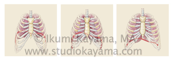 breathing lungs diagram medical illustration