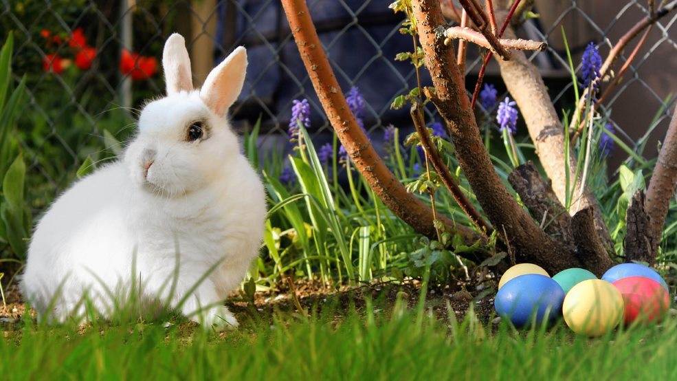 Do rabbits lay eggs or give birth?