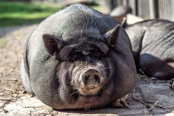 Can mini pigs get Ebola?
